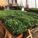 Microgreen produktion